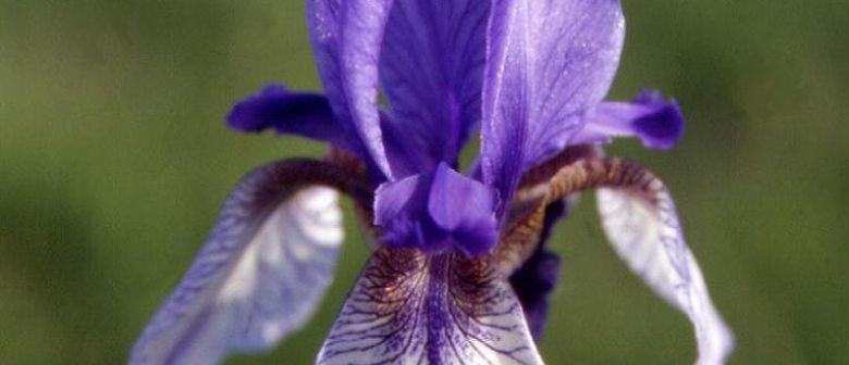 Von Iris, Bläulingen und Ameisen