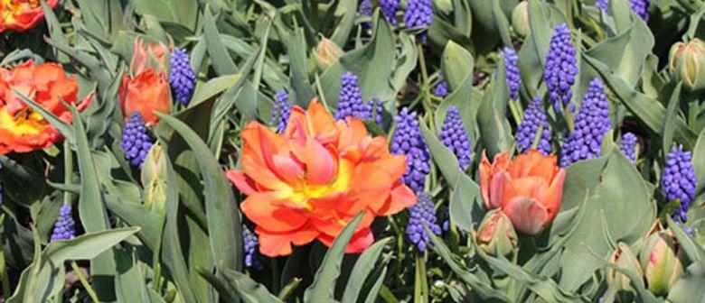 Frühlingsbeginn in den Blumengärten Hirschstetten