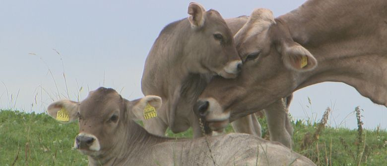 Das liebe Rindvieh & Vom Glück der Kühe