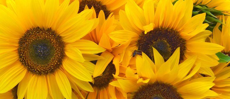 Sonnenblumenwettbewerb am Luschnouar Markt