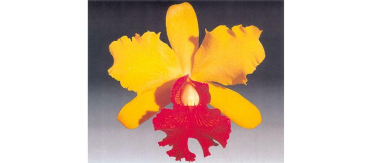 Die Orchideen der Dominikanischen Republik