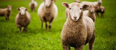 Dornbirner Herbst - Vom Schaf zur Wolle