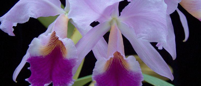 Panama - selten gesehene Orchideen aus diesem Land