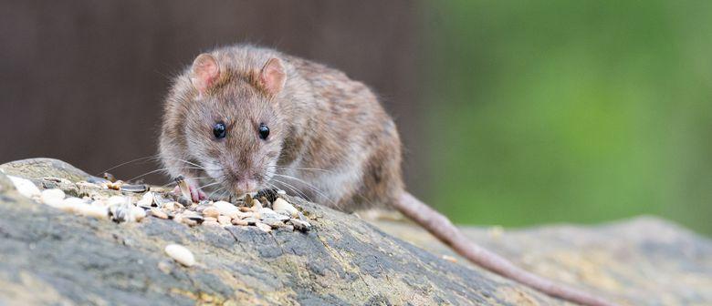 """Vortrag """"Ratten sieht man nicht"""""""