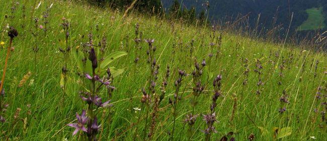 Wanderung zur Blüte des seltenen Moorenzians
