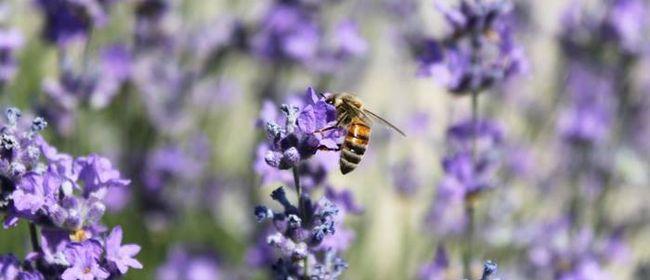 Lavendel: der Alleskönner
